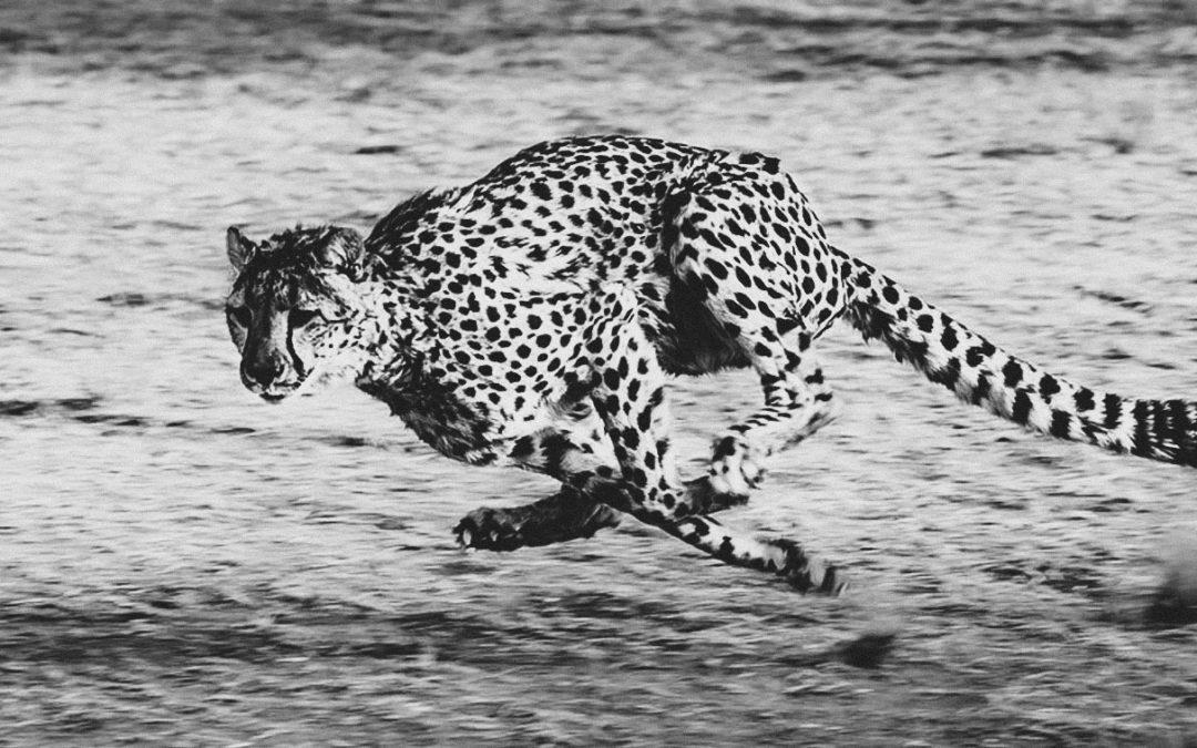 Pourquoi les jaguars ne font pas d'abdos!